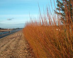 Non acoustic Green Barrier in Living Willow showing winter colour